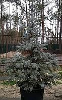 Ель колючая Picea pungens Hoopsii С90 h1,7м