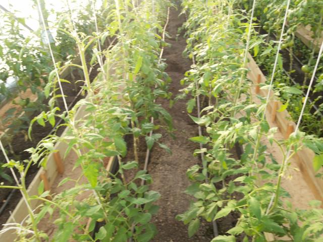 Выращивание помидоров в теплице из поликарбоната 38