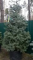 Ель колючая Picea pungens Blue Mountainh2,00-2,25