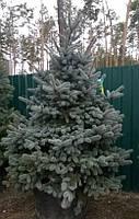 Ель колючая Picea pungens Hoopsii  h2,0-2,5м