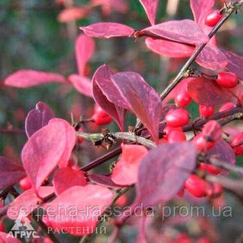 Барбарис Тунберга Rose Glow, 12-15 см, 1 л