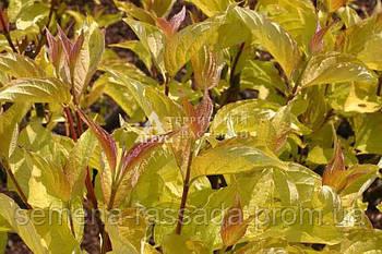 Дерен білий Aurea, 25-35 см, 3 л