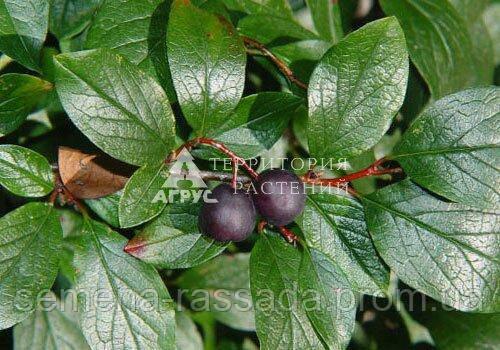 Кизильник блискучий Acutifolia, 40-50 см, 5 л