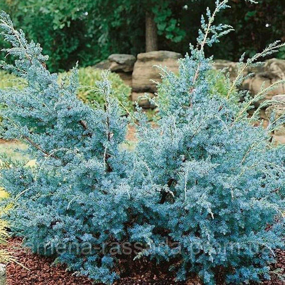 Можжевельник китайский Blue Alps, 10-15 см, P9