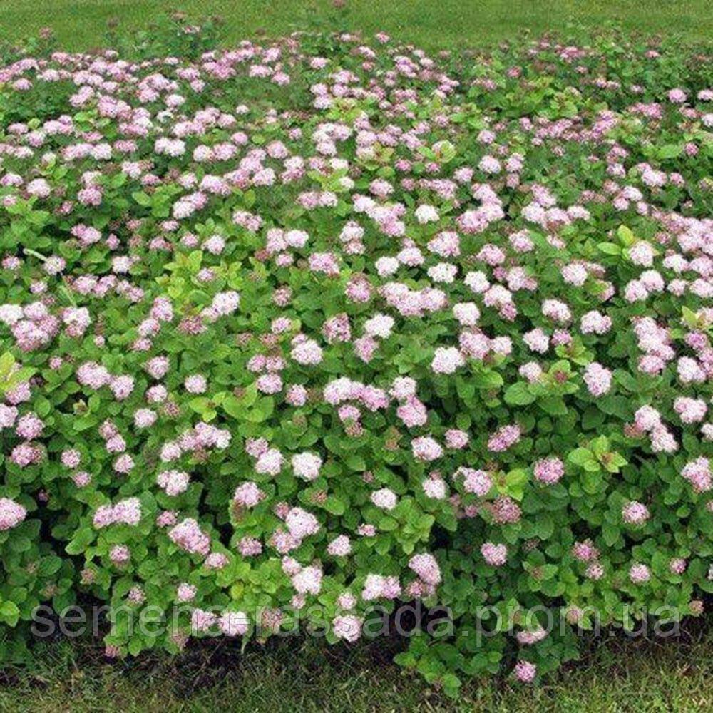 Спірея густоцветковий, 20-30 см, 3 л