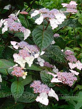 Гортензия садовая Intermedia (30-35 см, 2 л)