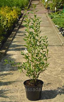 Пузыреплодник Little Greeny, 30-40 см, 2 л