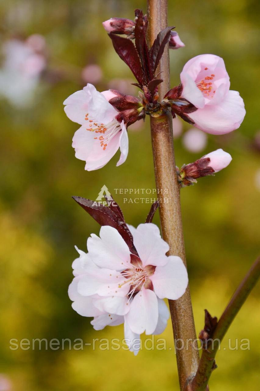 Персик краснолистный Бургунди, 3 года, 15 л