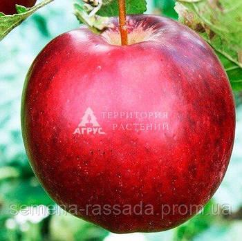 Яблуня Моді, 2 роки, відкритий корінь