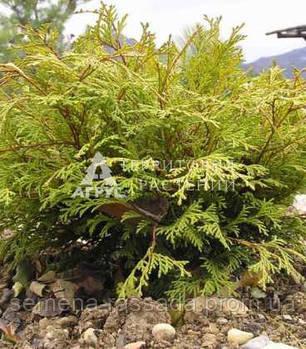 Кипарисовик тупий Kamarachiba, 10-12 см, P9