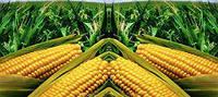 Гибрид кукурузы Пивиха