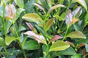 В чем разница между чаем тегуаньинь и улуном?
