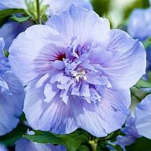 """Гибискус сирийский """"Blue Chiffon"""" 3 лет.высотой 1,5 м.штамбовый ЗКС 6 л. горшок"""