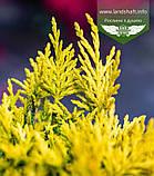Cupressocyparis leylandii 'Gold Rider', Купресоципарис Лейланда 'Голд Райдер',P7-Р9 - горщик 9х9х9,10-15см, фото 2