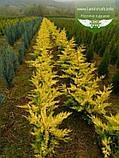 Cupressocyparis leylandii 'Gold Rider', Купресоципарис Лейланда 'Голд Райдер',P7-Р9 - горщик 9х9х9,10-15см, фото 10