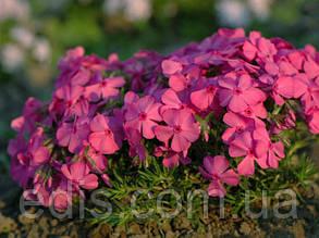 Флокс шиловидный Marjorie (Марджори) малиново-розовый крупноцветковый