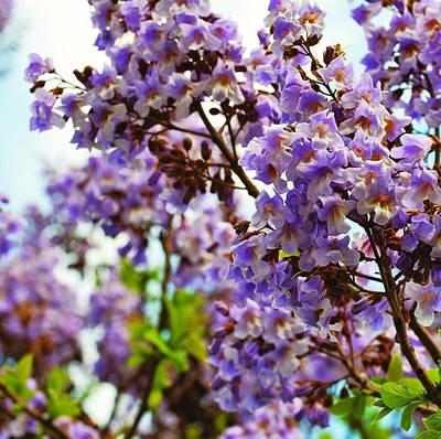Семена декоративных и красивоцветущих.
