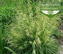 Deschampsia cespitosa 'Palava', Щучник дернистий 'Палава',C2 - горщик 2л