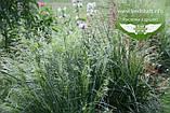 Deschampsia cespitosa 'Palava', Щучник дернистий 'Палава',C2 - горщик 2л, фото 2