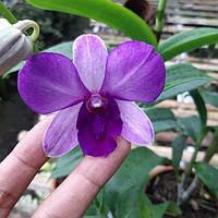 """Уценка Подростки орхидеи. Den blue planet без цветов, размер 1.7""""."""