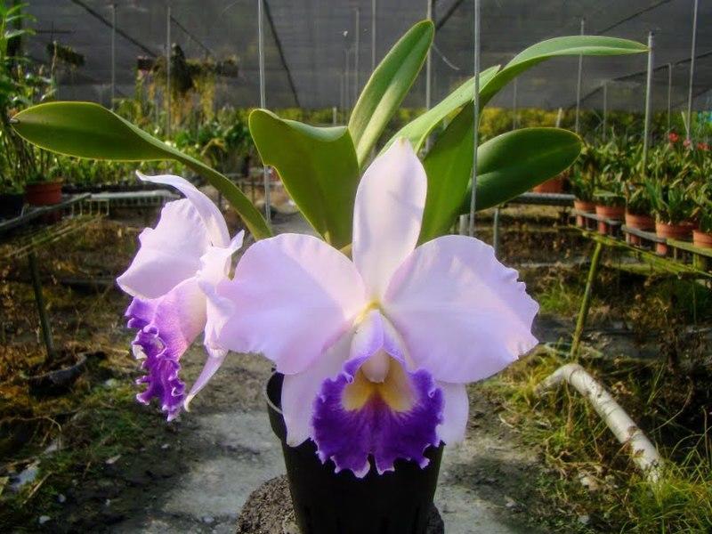 """Підлітки орхідеї. Каттлея Hiroshima Melody 'Blue Genie', розмір 1.7"""" без квітів"""