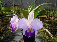 """Підлітки орхідеї. Каттлея Hiroshima Melody 'Blue Genie', розмір 1.7"""" без квітів, фото 1"""