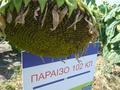 Параизо 102 CL семена ЗААТЕН-УНІОН