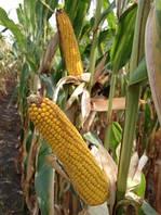 Да Сонка кукурудза