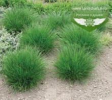 Deschampsia cespitosa, Щучник дернистий,C2 - горщик 2л