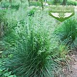 Deschampsia cespitosa, Щучник дернистий,C2 - горщик 2л, фото 2