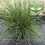 Deschampsia cespitosa, Щучник дернистий,C2 - горщик 2л, фото 3