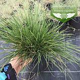 Deschampsia cespitosa, Щучник дернистий,C2 - горщик 2л, фото 4