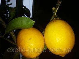 Лимон Мейера (Citrus × meyeri) 10-20 см. Черенкован. Комнатный