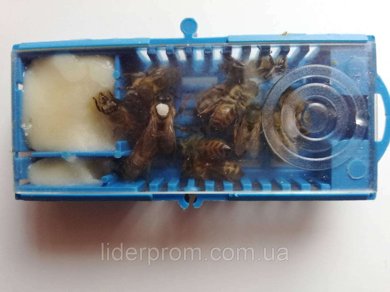 Пчеломатка Украинская Степовая плодная