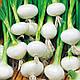 Лук Кристально-белый Воск семена, фото 4