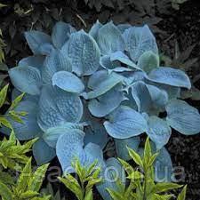 Хоста Fragrant Blue (Фрагрант Блю)