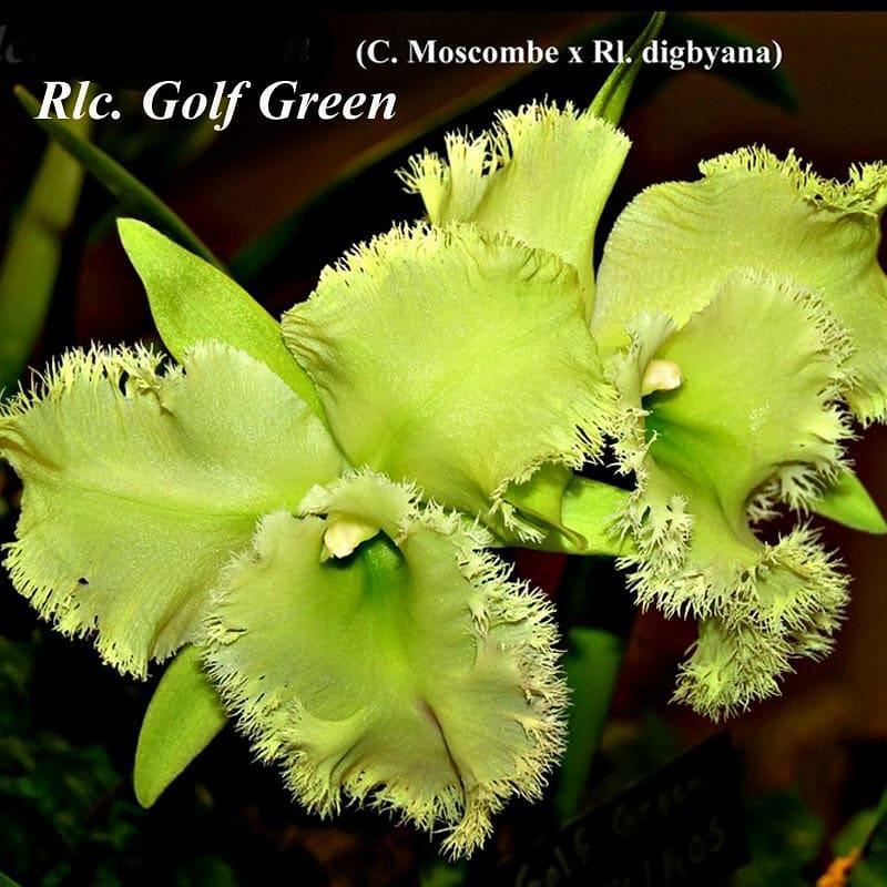 """Підлітки орхідеї. Каттлея Golf Green «Hair Pig», розмір 1.7"""" без квітів"""