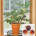 Выращивание инжира в домашних условиях