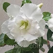 Адениум Jumbo White (черенок)