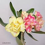 Адениум Chrysantem Terrace (черенок), фото 4