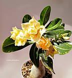Адениум Chrysantem Terrace (черенок), фото 3