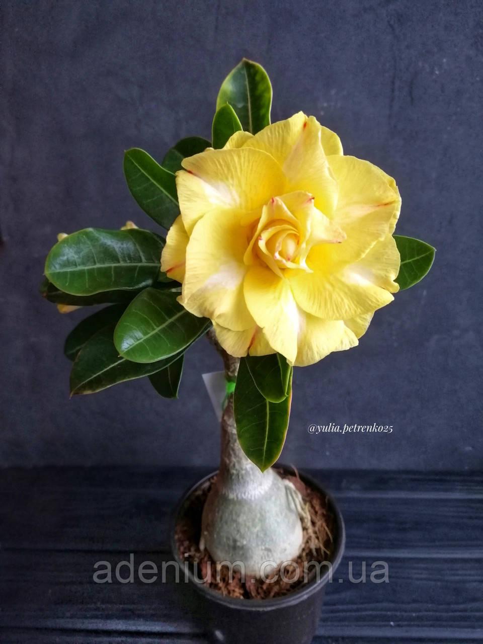 Адениум Chrysantem Terrace (черенок)