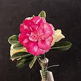 Адениум Chrysantem Terrace (черенок), фото 2