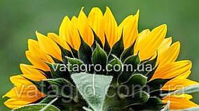 Гібрид соняшника Плано Ультраранній Seed Grain Company