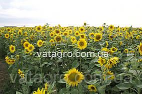Гібрид соняшника Едісон Ультранній Seed Grain Company