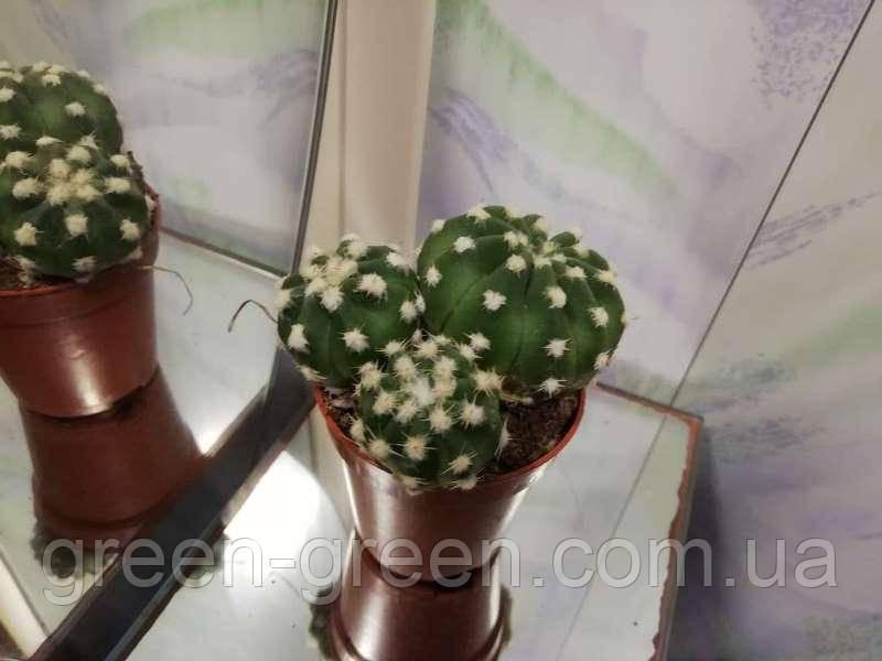 Кактус Echinopsis Subdenudata XXL