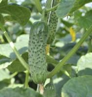 Семена огурцов партенокарпик  Ленара F1, Rijk Zwaan (Рийк Цван) упаковки 1000 семян