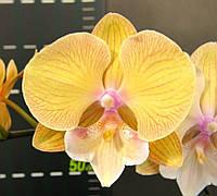Орхідея сорт Cym58, без квітів, діаметр горщика 2.5 дюйма, фото 1