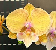 Орхідея сорт Cym58, без квітів, діаметр горщика 2.5 дюйма