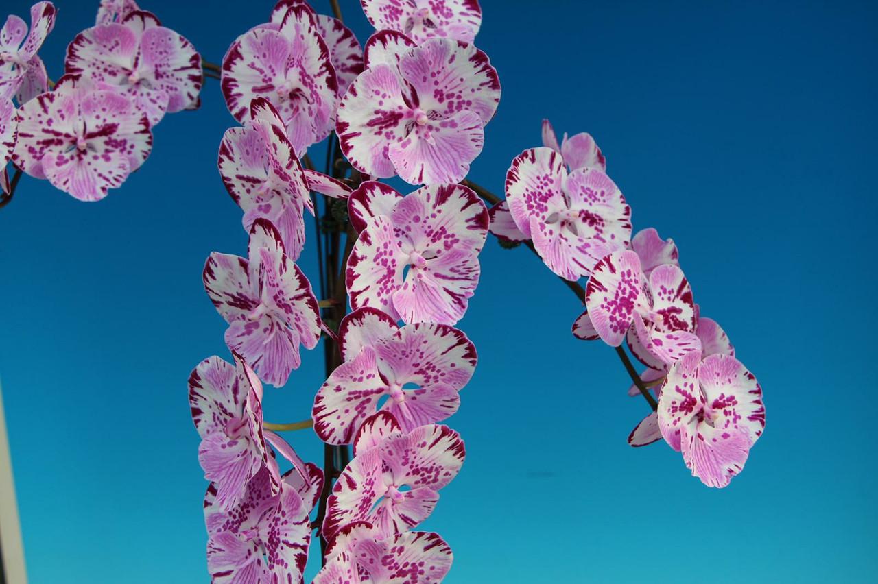 Орхидея сорт биглип Magic M235, без цветов, диаметр горшка 2.5 дюйма